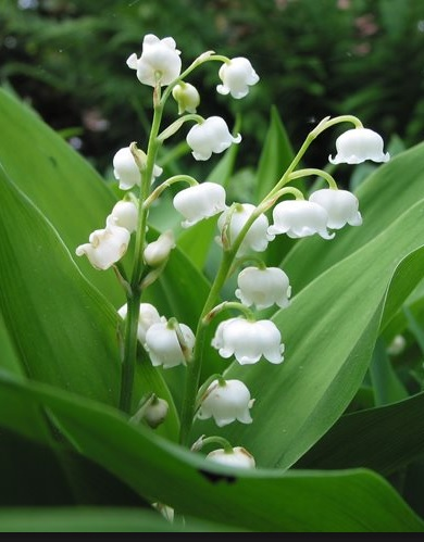 Lilyofthevalley Spring time flowers by DuoSmexyMaxwell
