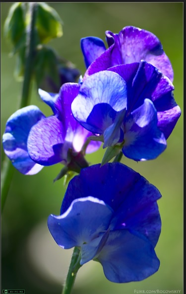 Sweetpea Birth Flower by DuoSmexyMaxwell