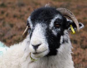 A Sheepish Look by smallsofthamish