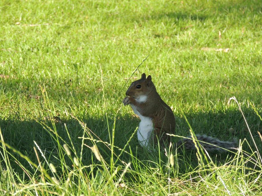 Squirrel 3 by CanveySue