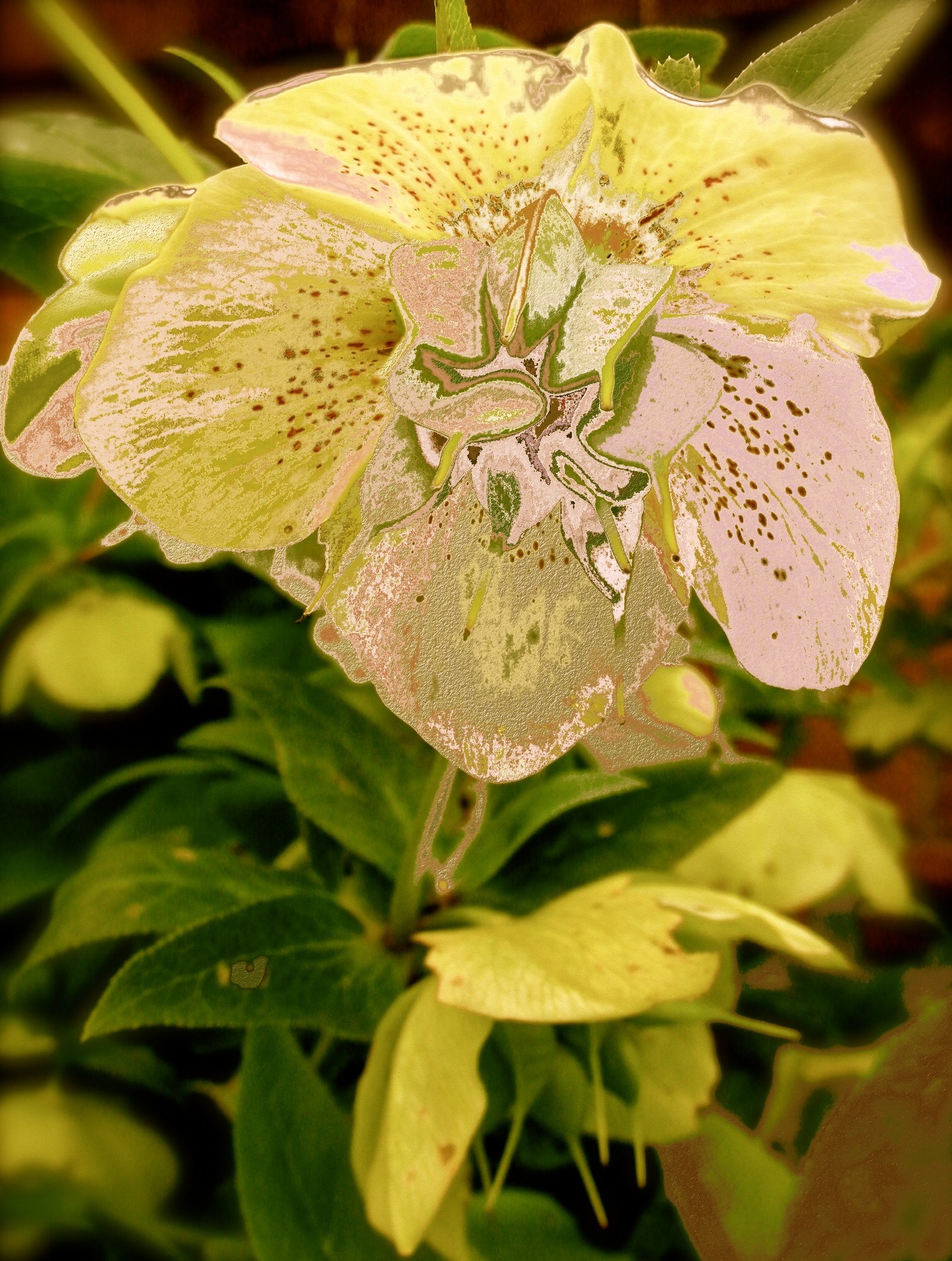 Hellebore3 by KateHodges