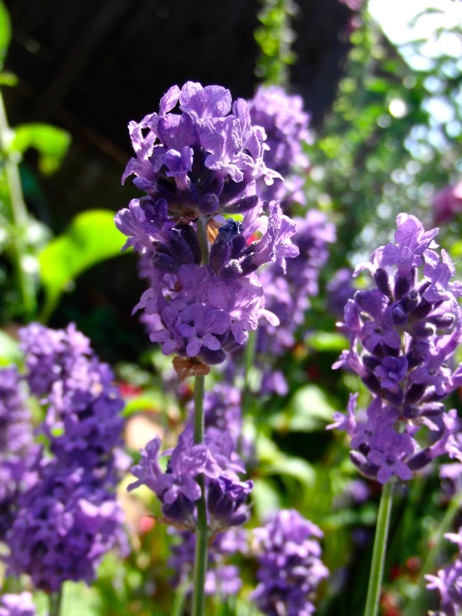 Lavender by KateHodges