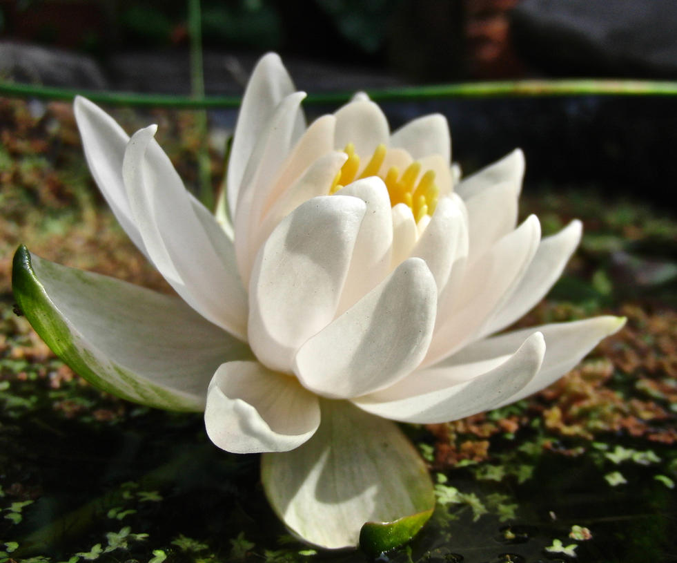 WaterLily by KateHodges