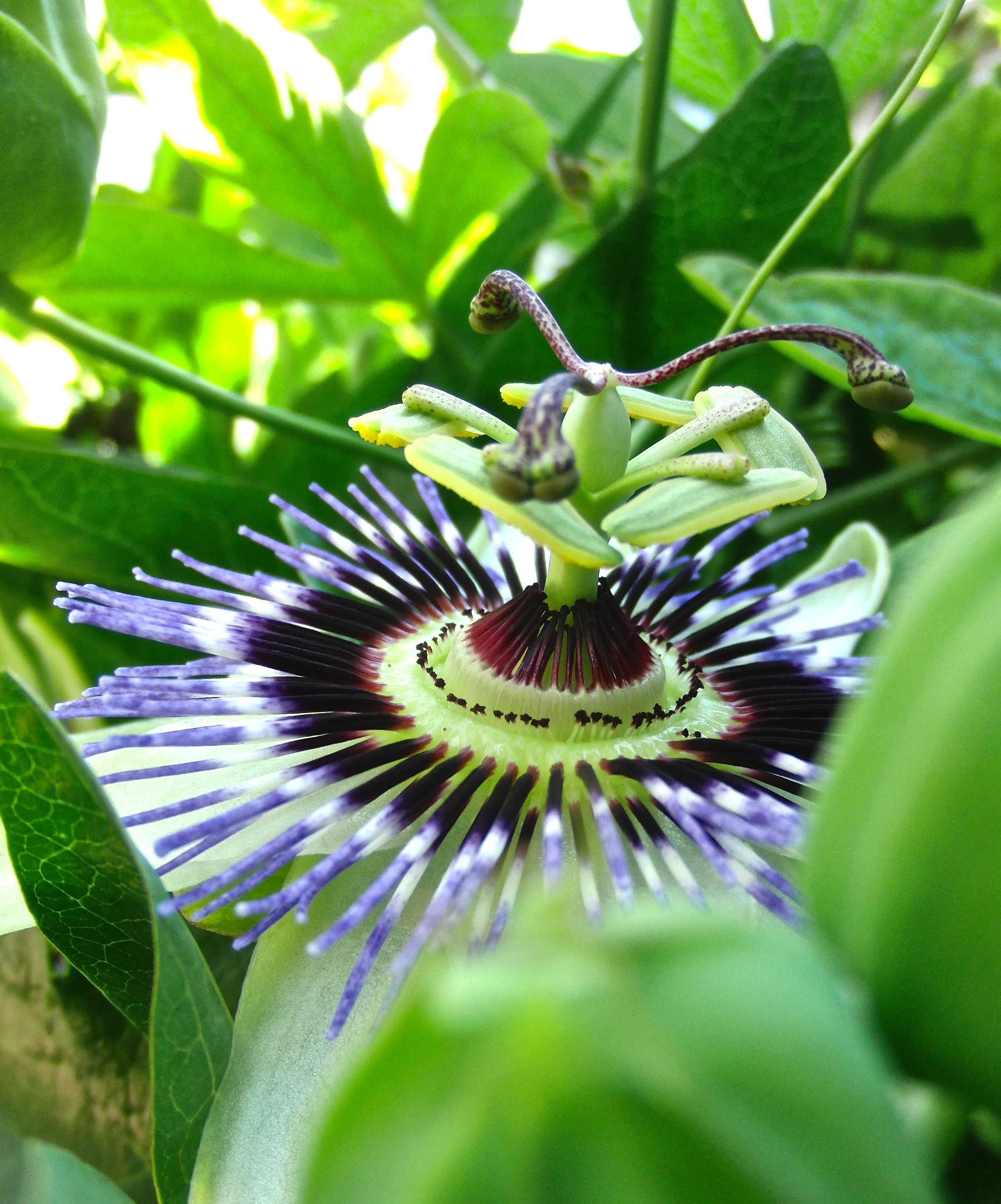 Passion Flower by KateHodges