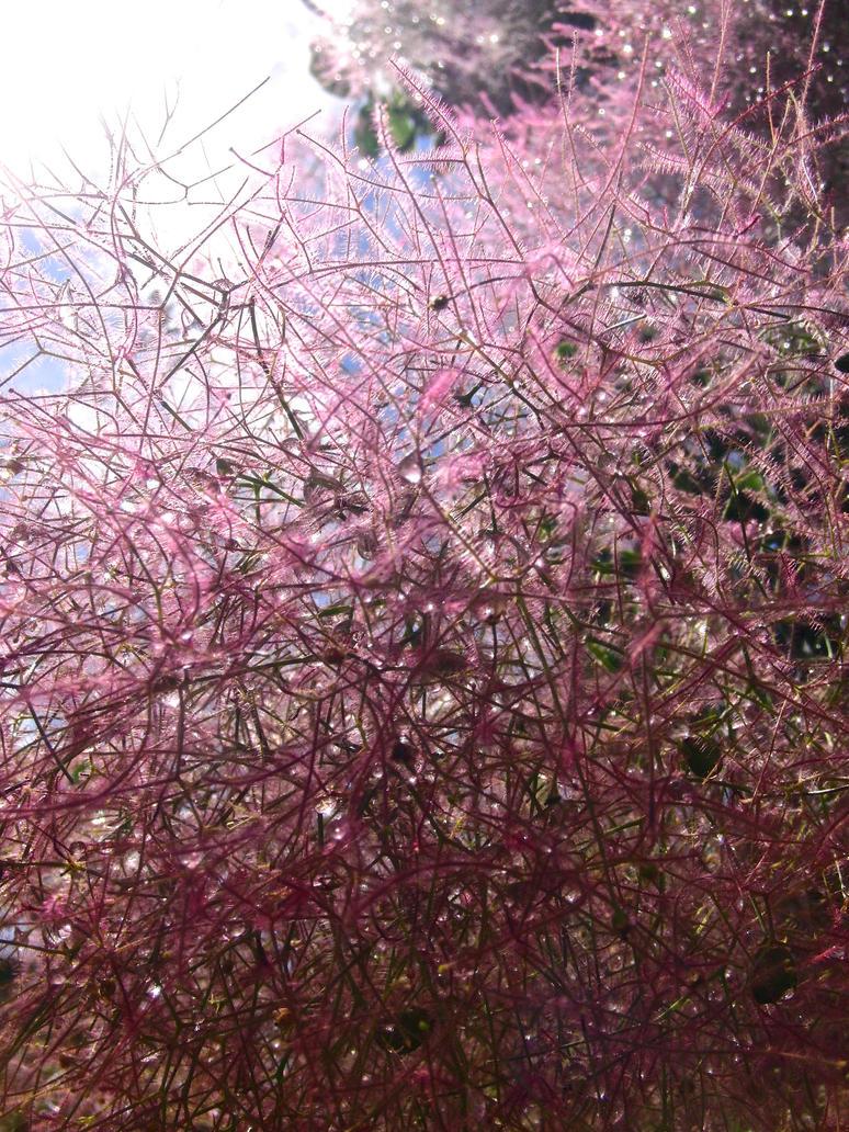 Smoke Tree (Cotinus) by KateHodges