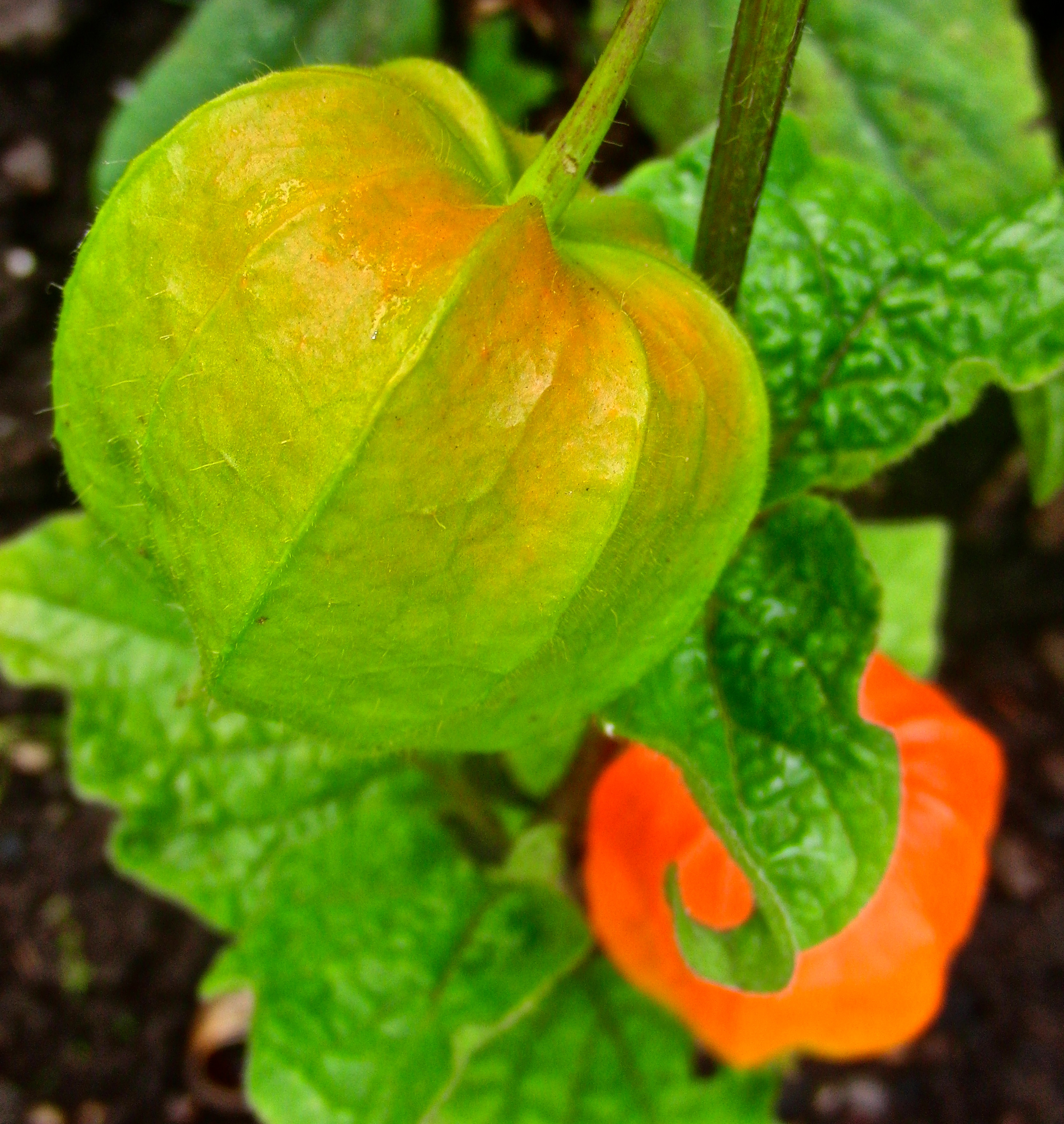 Physalis ripening by KateHodges