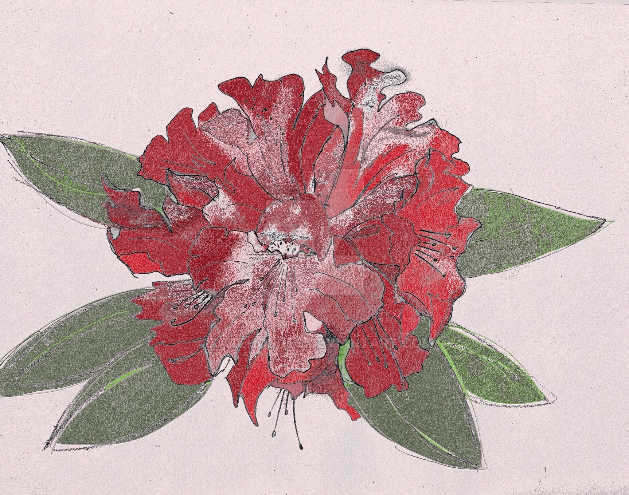 Rhododendron flower by KateHodges