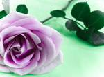 rose series by DaisyDinkle