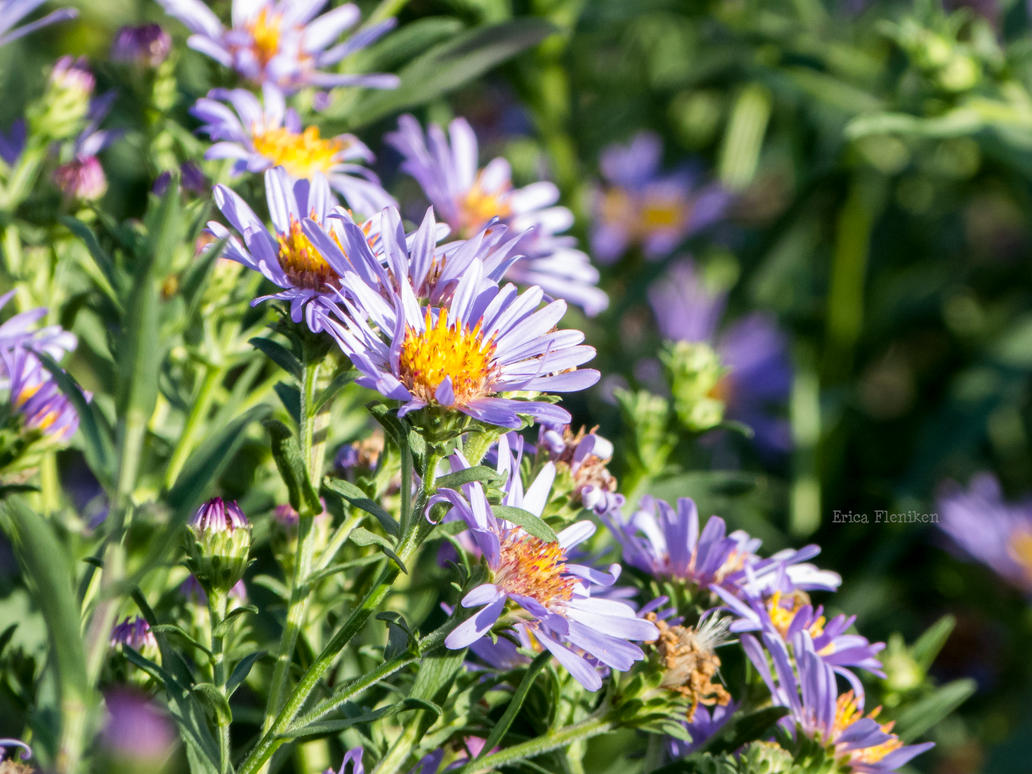 Asters by DaisyDinkle