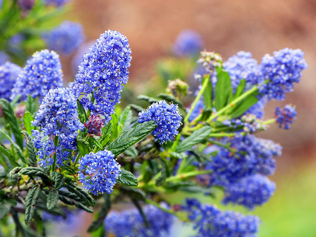 Mountain Lilac by DaisyDinkle