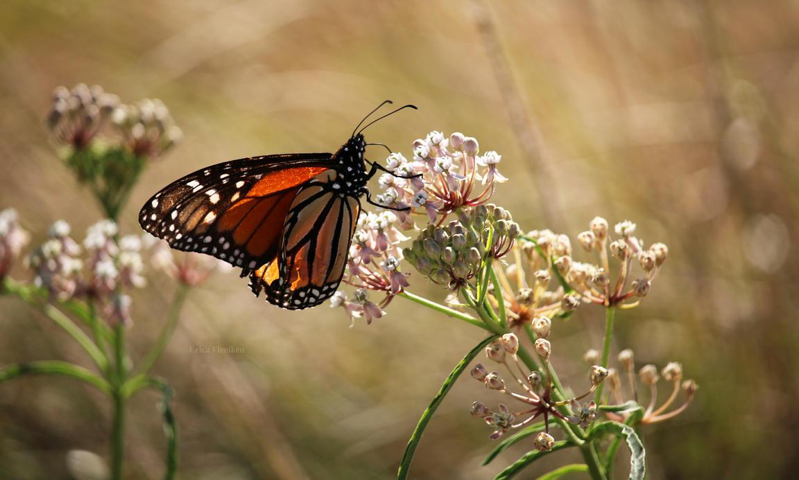 Monarch on Milkweed by DaisyDinkle