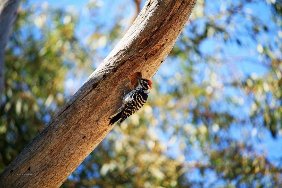 Nuttal's Woodpecker by DaisyDinkle