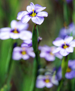 Blue -Eyed Grass by DaisyDinkle