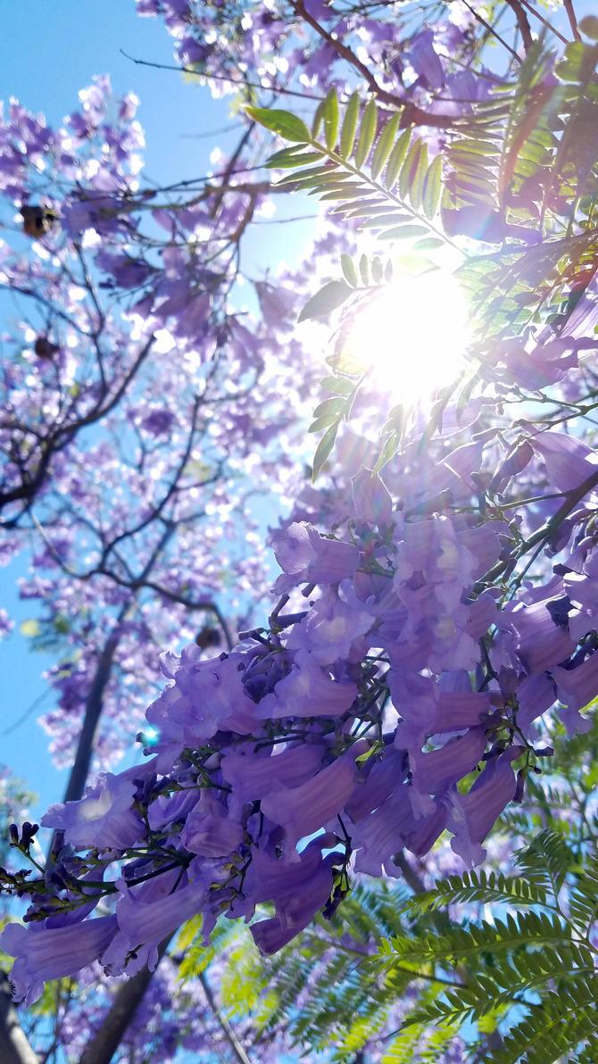 Jacaranda Trees in Bloom by BlackHawk00021