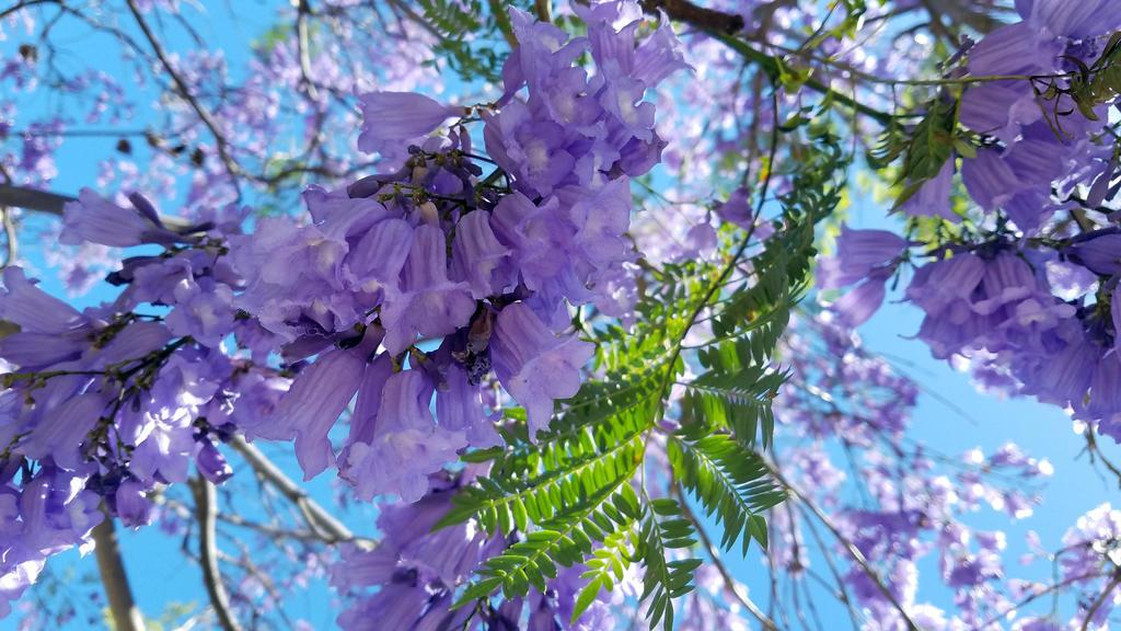 Jacaranda Trees in Bloom 2 by BlackHawk00021