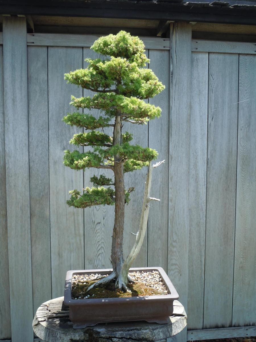 Sequoia Bonsai By Aniju Aura On Deviantart