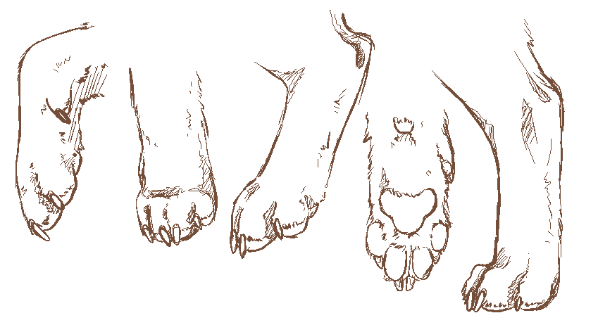 Anatomy of cat paw