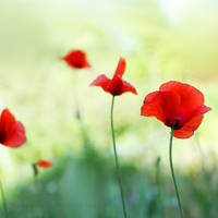Poppies by ElyneNoir