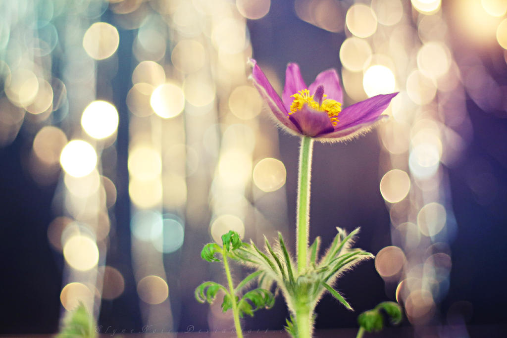 Pasqueflower by ElyneNoir