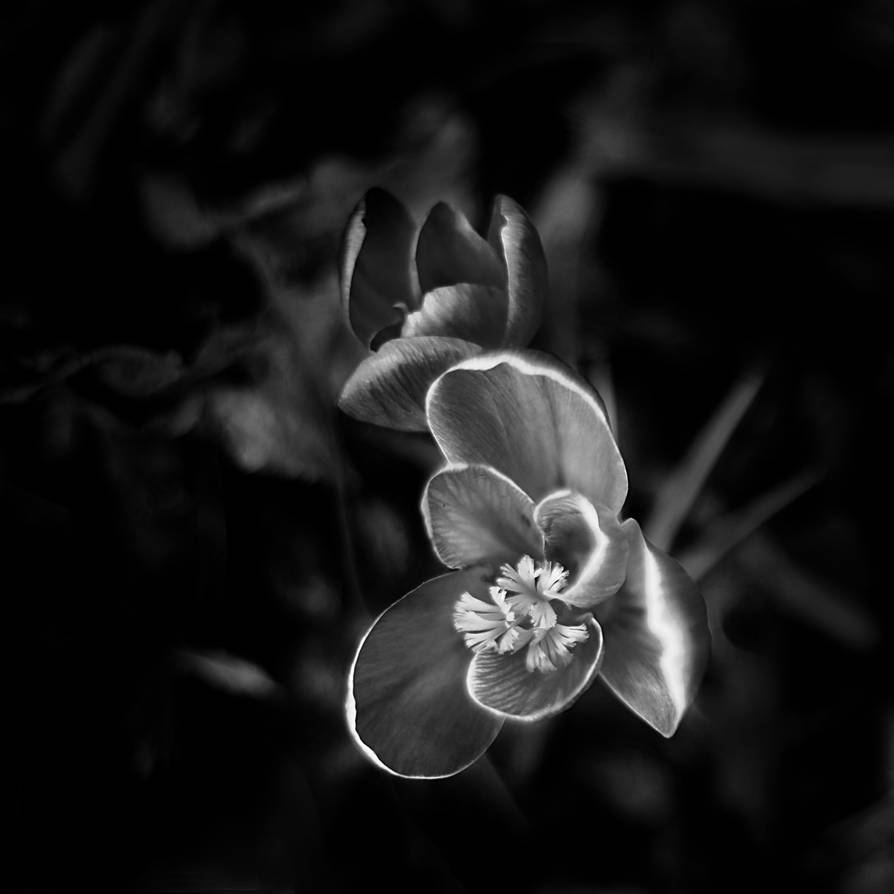 Crocus II by ElyneNoir