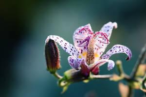 067 - Closeup Lily by ElyneNoir