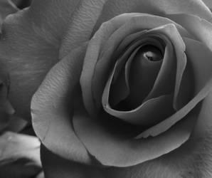 Rose by Adderleg