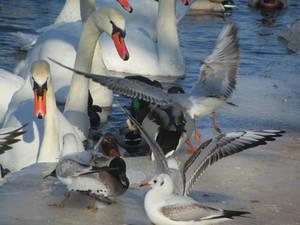 Kampf um die Wasserstelle am gefrorenen Fluss