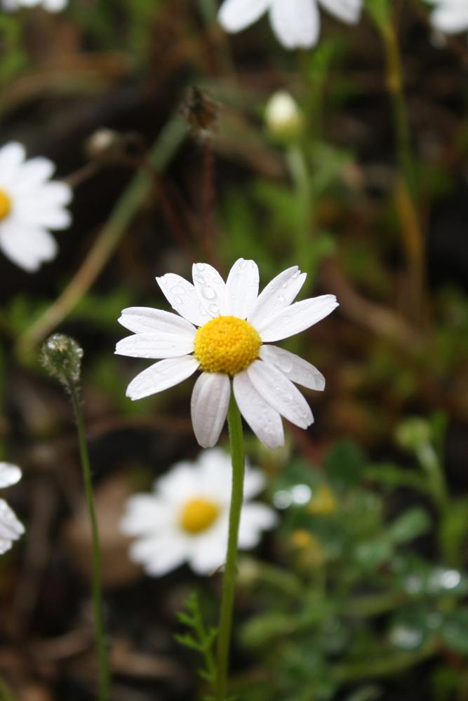 Pure Daisy by DamaInNero