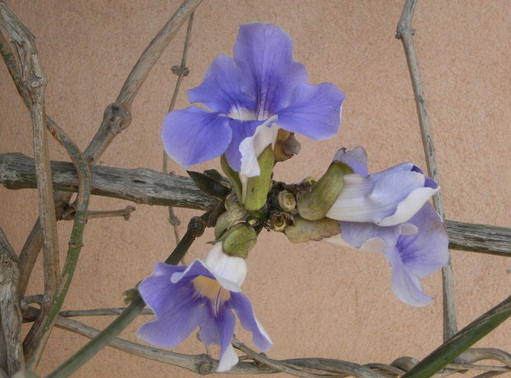Israeli Flower by DamaInNero