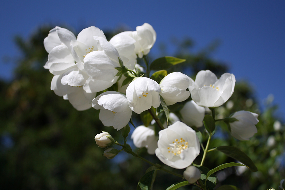 Flower of Tzfat by DamaInNero