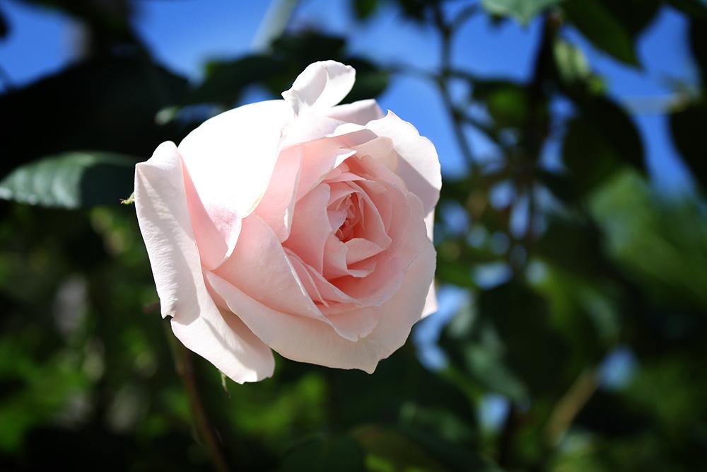 May Rose by DamaInNero