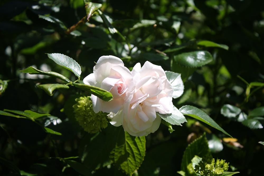 Sunny Roses by DamaInNero