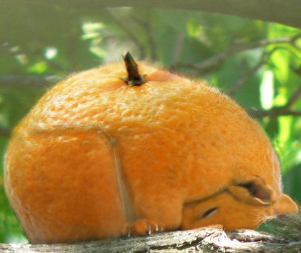 Orange Squirrel by AntoineP76