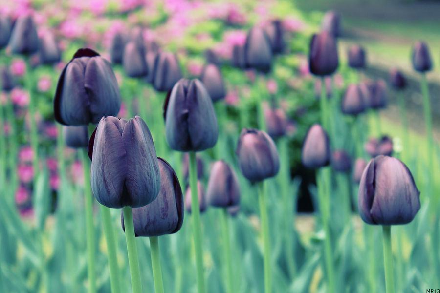 Purple Tulip I