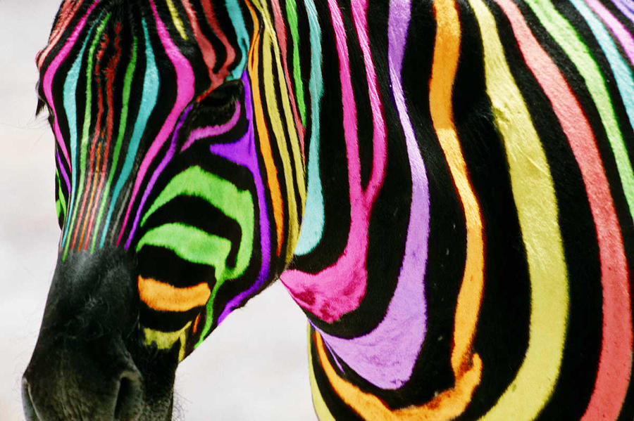 Multi-coloured Zebra by Jonlord999 on DeviantArt Multi Colored Zebra Print Wallpaper