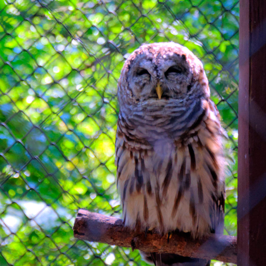 Barred Owl by chef-chad