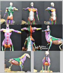 Muscles comparation Human-Horse-Centaur