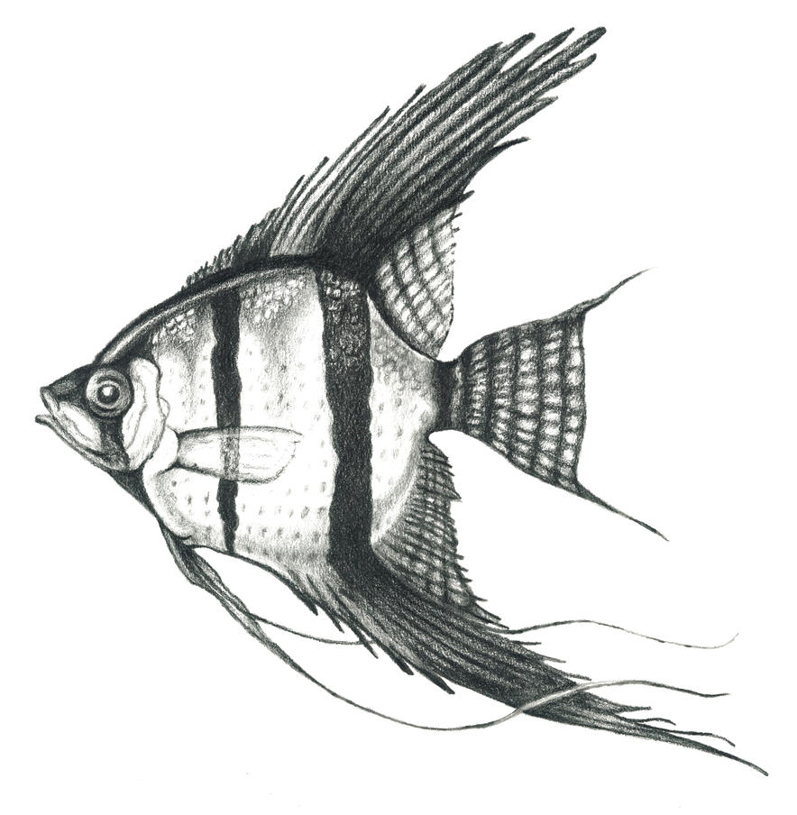 Angel fish illustration in graphite by cajunarts on for Drawings of fish