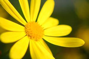 Yellow Sunshine by TheFairyGodMother