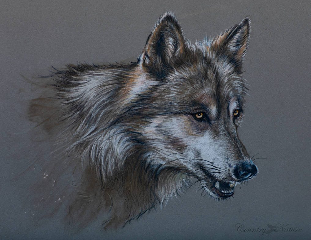 Wolf in soft pastel by Countrynature