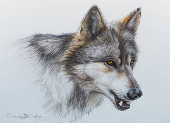 wolf in colored pencils by Countrynature