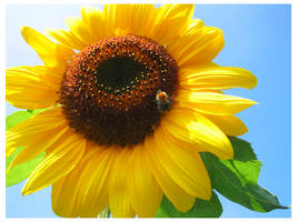 Sunflower by Mossel