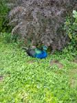 Peacock by roxidraw