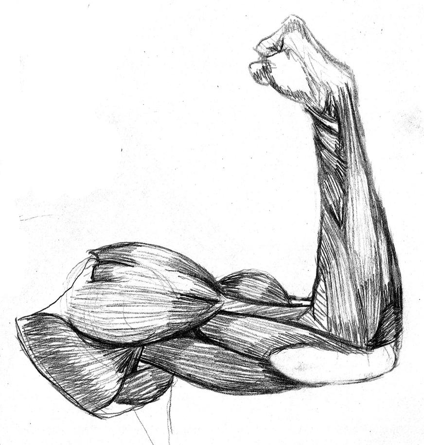 Arm Muscle Anatomy Study by oxfordcoma on DeviantArt