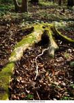 Tree Stump 33