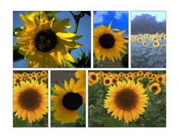 Sunflower collage by randthuntley