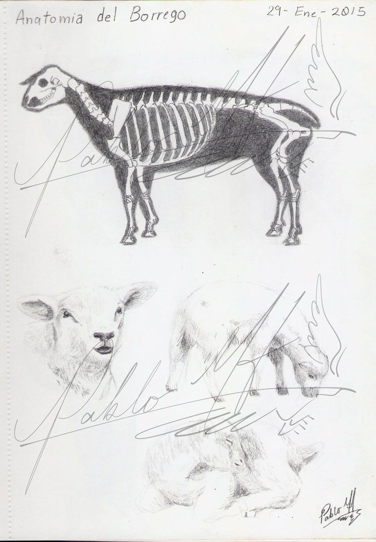 Anatomy Of The Sheep By Pabolmh On Deviantart