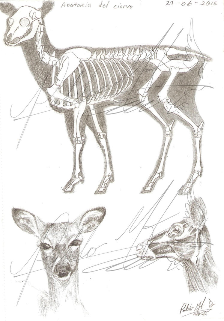 Anatomy of the Deer by PabolMH on DeviantArt