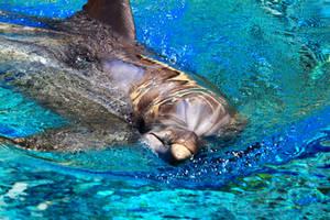Dolphin close up2 by Celem