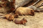 The Capybara Family goes to the Beach